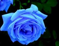 plava-ruza